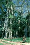 Children under the Banyan Tree