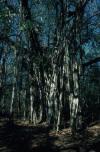 Banyan Tree Namesake of Banyan Hypnosis Center